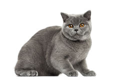 British Shorthair afraid, 7 months old, isolated Royalty Free Stock Image
