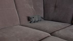 Kittens on the couch. British Shorthair babies on the couch, close-up view stock video