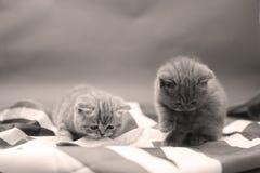 British Shorthair babies Stock Photos