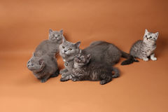 British Shorthair babies with mother cat, isolated portrait Stock Images