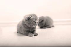 British Shorthair babies Royalty Free Stock Photography