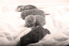 British Shorthair babies Royalty Free Stock Photo