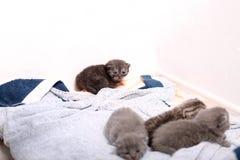British Shorthair babies Stock Photo