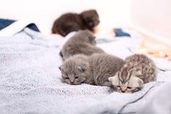 British Shorthair babies Royalty Free Stock Images