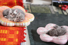 British Shorthair babies on pillows Royalty Free Stock Photo
