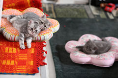 British Shorthair babies on pillows Royalty Free Stock Images