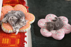 British Shorthair babies on pillows Stock Photo