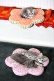 British Shorthair babies on pillows Stock Photos