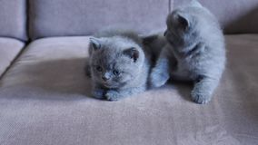 Kittens on the couch. British Shorthair babies playing on the couch, close-up view stock video