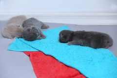 British Shorthair babies portrait, isolated. Newly born British Shorthair kitten portrait, close-up view, copyspace, isolated royalty free stock images