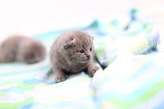 British Shorthair babies portrait, isolated Stock Photography