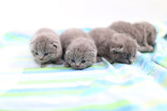 British Shorthair babies portrait, isolated Stock Images