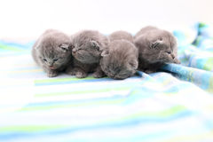 British Shorthair babies portrait, isolated Royalty Free Stock Photography