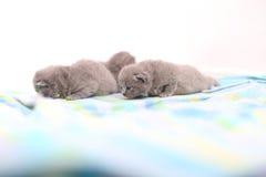 British Shorthair babies portrait, isolated Stock Photo
