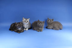 British Shorthair babies portrait  Royalty Free Stock Photography