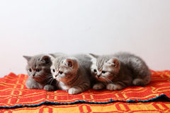 British Shorthair babies on a red rug Stock Photo