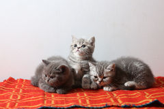 British Shorthair babies on a red rug Royalty Free Stock Photography