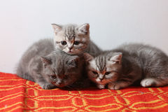 British Shorthair babies on a red rug Stock Photos