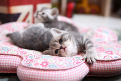 British Shorthair babies sleeping Royalty Free Stock Images