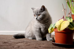 British Shorthair baby Stock Photography