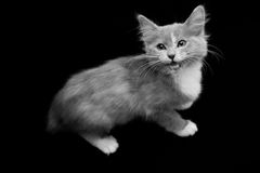 British Shorthair baby Stock Photo