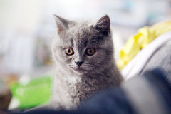 British Shorthair. Baby close-up portrait Stock Photos