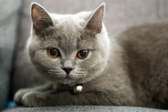 British Shorthair Royalty Free Stock Images