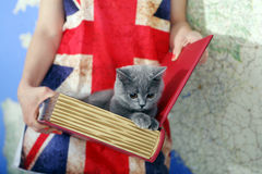 British Shorthair baby. Girl holding a British Shorthair kitten in a book box, map on the background and Union Jack t-shirt Stock Images