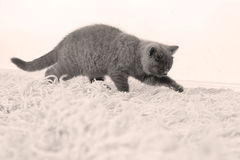 British Shorthair baby Royalty Free Stock Image