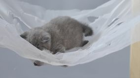British shorthair baby in a hammock stock video