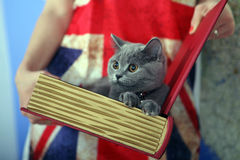 British Shorthair baby. British Shorthair kitten in a box, book-shape Stock Images