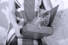 British Shorthair baby. British Shorthair kitten in a box, book-shape Royalty Free Stock Photo