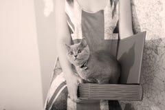 British Shorthair baby. British Shorthair kitten in a box, book-shaped Royalty Free Stock Photo