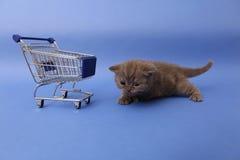 British Shorthair baby Stock Images