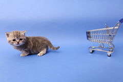 British Shorthair baby. Baby kitten near a shopping cart, one week old stock image