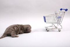 British Shorthair baby. Baby kitten near a shopping cart, one week old royalty free stock photos