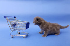 British Shorthair baby. Baby kitten near a shopping cart, one week old royalty free stock photography