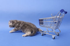 British Shorthair baby. Baby kitten near a shopping cart, one week old stock images
