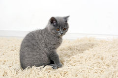 British Shorthair baby Stock Images