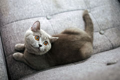 British Shorthair baby. British shorthair kitten sitting on a gray sofa, looking above Royalty Free Stock Images
