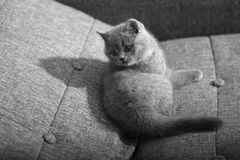 British Shorthair baby Royalty Free Stock Image