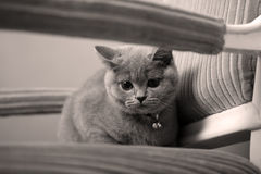 British Shorthair baby Stock Photos