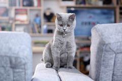 British Shorthair baby Royalty Free Stock Photo