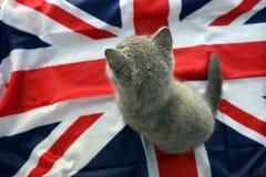 British Shorthair baby Royalty Free Stock Photography