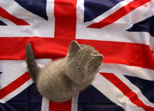 British Shorthair baby Stock Photography