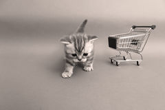British Shorthair baby. Baby kitten walking near a shopping cart, one week old stock photos