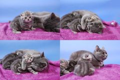 Baby kittens playing on mauve background, multicam stock images