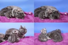 Baby kittens playing on mauve background, multicam royalty free stock images