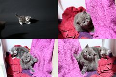 Baby kittens playing on mauve towel, multicam stock photos