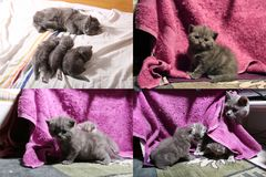 Baby kittens playing on mauve towel, multicam royalty free stock photos